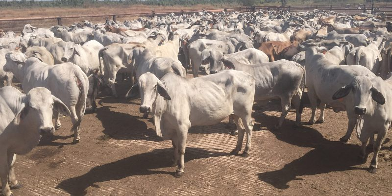 Cattle Audit – Twin Hill Aboriginal Corporation – Twin Hill Station